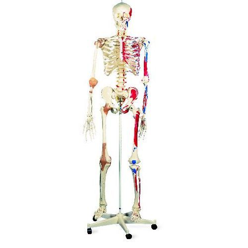 super human skeleton model sam - flexible with muscles and, Skeleton