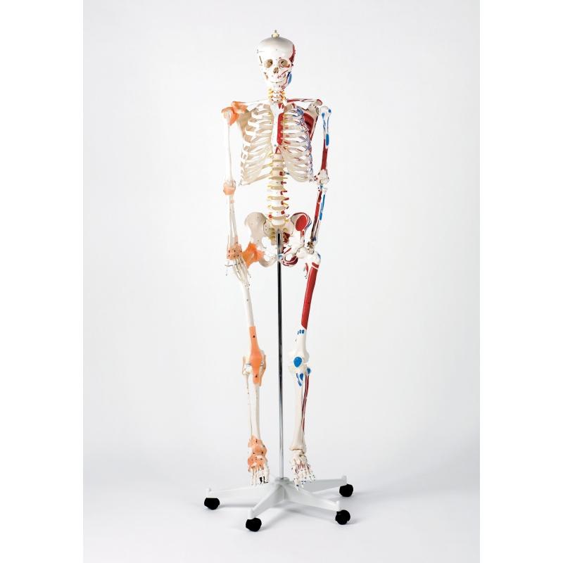 Life Size Skeleton Model Ceriunicaasl