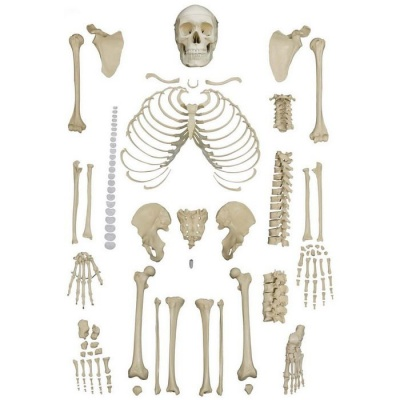Disarticulated Full Human Skeleton With 4 Part Skull Sports