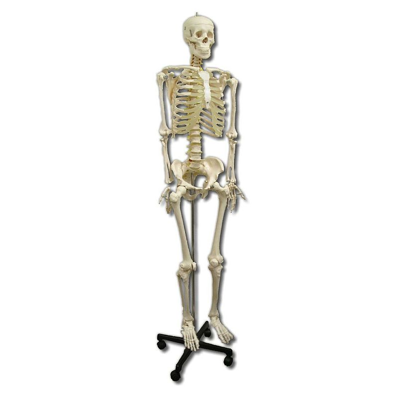 life size skeleton