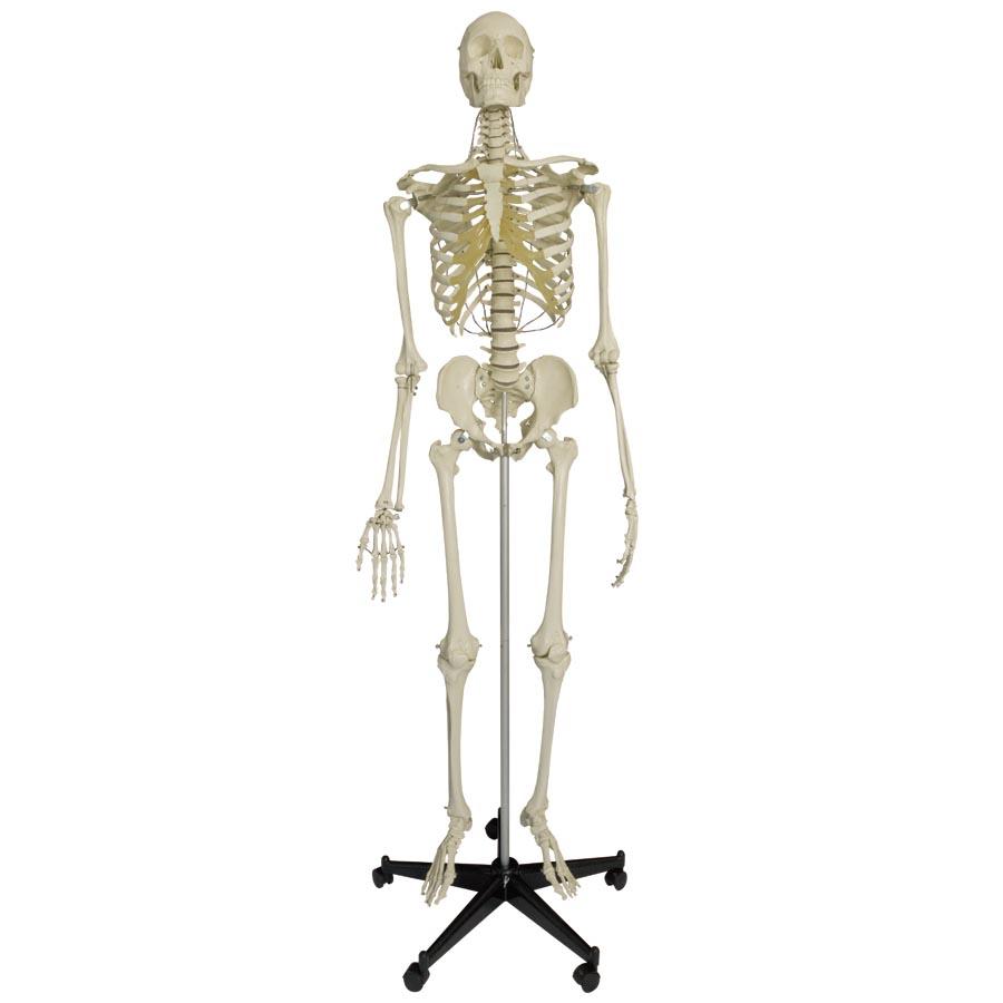 Human Skeleton Model h...