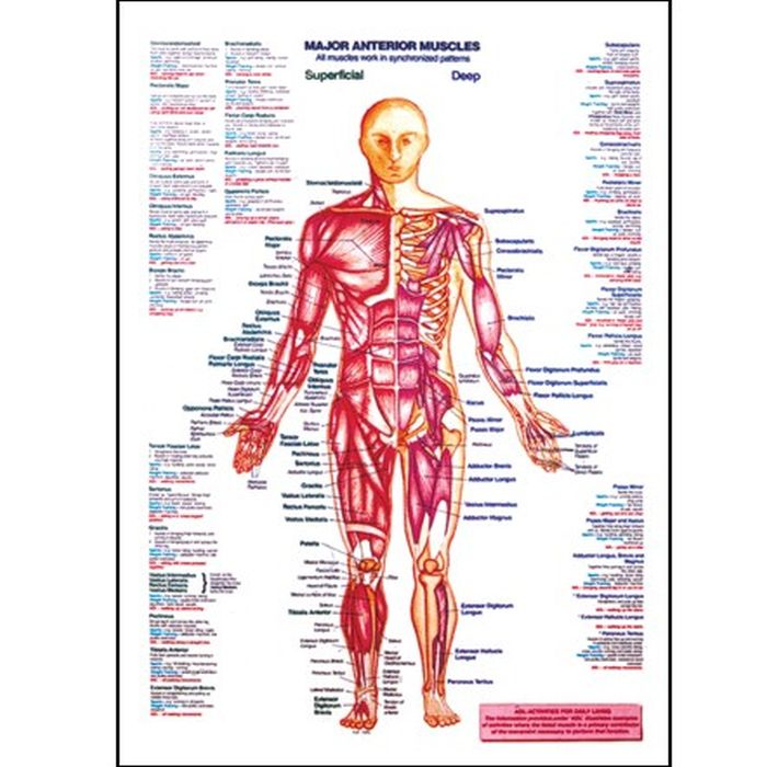 major anterior muscle chart :: sports supports | mobility, Muscles