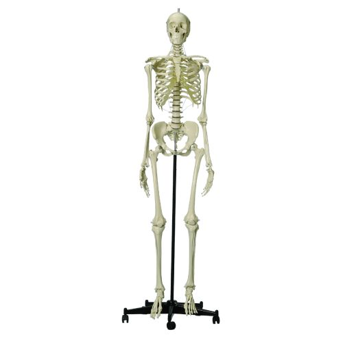 Model Skeleton Human Female Full Size Sports Supports Mobility
