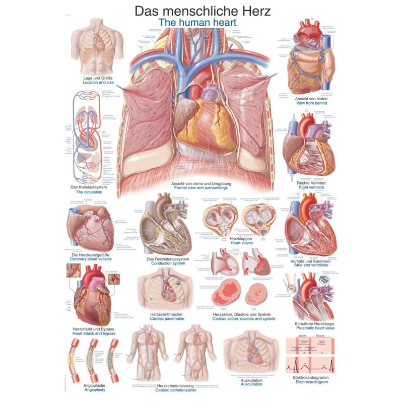human heart chart images: The human heart educational chart sports supports mobility