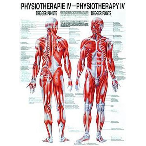 physiotherapy trigger points chart poster sports
