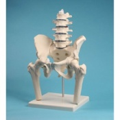 Lumbar Spine Model with Pelvis and Femur Heads