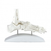 One Piece Foot Skeleton Model