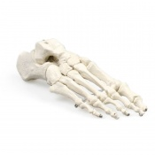 Model Foot Skeleton
