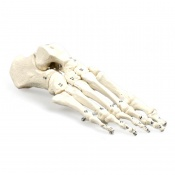 Numbered Foot Skeleton Model