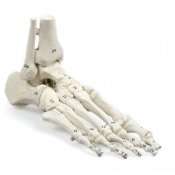 Numbered Foot Skeleton Model with Tibia and Fibula Insertions