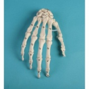 Numbered Hand Skeleton Model