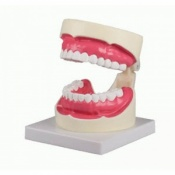 Enlarged Oral Hygiene Model