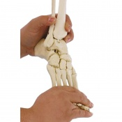 Flexible Model Foot Skeleton with Lower Leg Insertion