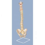 Miniature Spinal Column with Hanging Stand