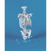 Vertebral Column Model with Thoracic Cage