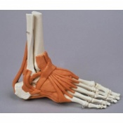 Model Foot Skeleton with Ligaments