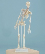 Detailed Miniature Model Skeleton Fred