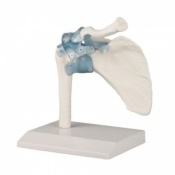Shoulder Joint Model with Ligaments