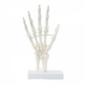 Basic Hand Skeleton Model