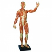 Anatomical Muscle Model