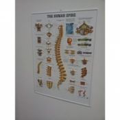 3D Human Spine Poster
