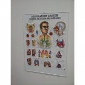 3D Respiratory System Poster