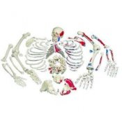 Disarticulated Full Human Skeleton Painted Muscles With 3 Part Skull