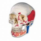 Classic Human Skull Model With Opened Lower Jaw 3 Part Painted