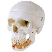 Classic Human Skull Model With Opened Lower Jaw 3 Part