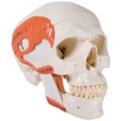 Tmj Human Skull Model Demonstrates Functions Of Masticator Muscles 2 Part