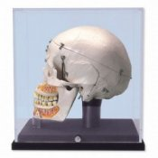 Deluxe Human Demonstration Dental Skull Model 10 Part With Display Case