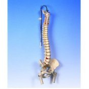 Lifetime Flexible Spine Model With Femur Heads