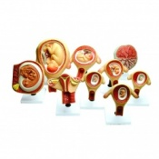 Model: Period of Gestation (Set of 9)