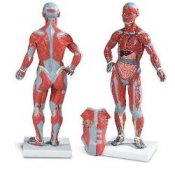 1/4 Life-Size Muscle Figure 2-Part