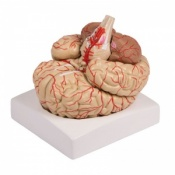 9-Part Brain Model with Arteries