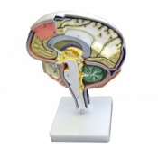 Model Brain Section