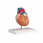 2-Part Anatomical Heart Model