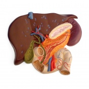 Liver with Gall Bladder, Pancreas, and Duodenum Model
