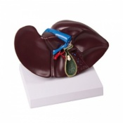 Full Size Liver with Gall Bladder Model