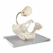 Childbirth Demonstration Model Pelvis