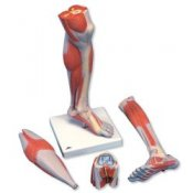 Lower Muscle Leg With Detachable Knee 3 Part Life Size