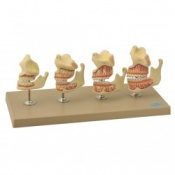 Model: Dentition Development  set of 4
