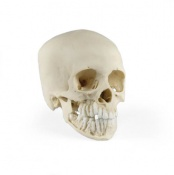 Paediatric Skull 12 Year Old