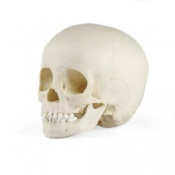 Paediatric Skull 3 Year Old
