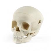 Paediatric Skull 5 Year Old