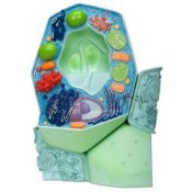 Plant Cell Model Magnified 500000-1000000 Times