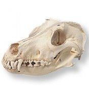 Dog Skull Canis Domesticus