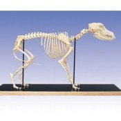 Dog Skeleton Canis Domesticus