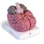 Giant Brain 2.5 Times Full-Size 14 Part