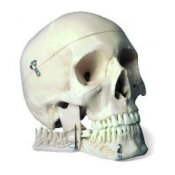 Skull Model With Teeth For Extraction 4 Part